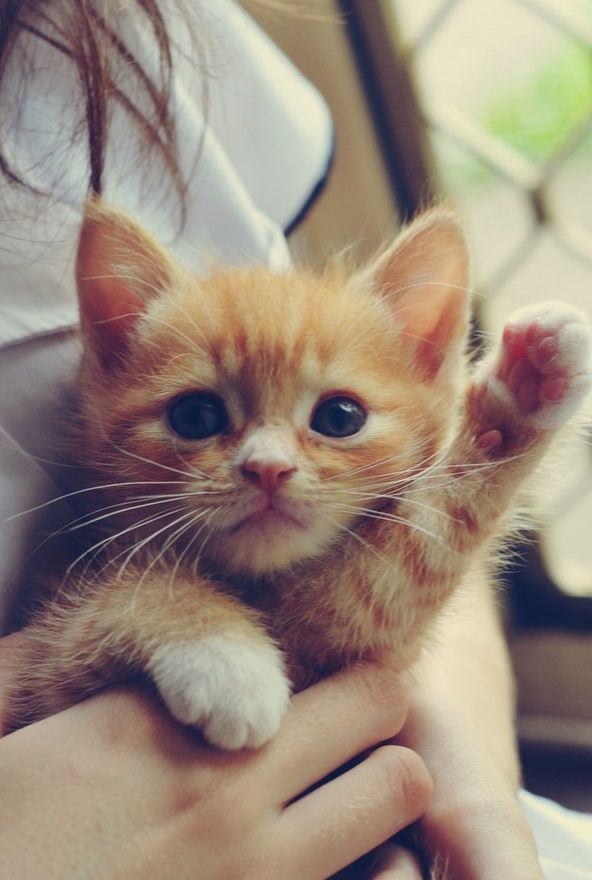 This looks like Bridget when she was a baby only no white on the paws. If you are considering adopting, orange Tabbies are great! Mine can be a pill, but she's so sweet, and fun! Loves kids, and actually thinks she is one! She's a good family friendly feline.