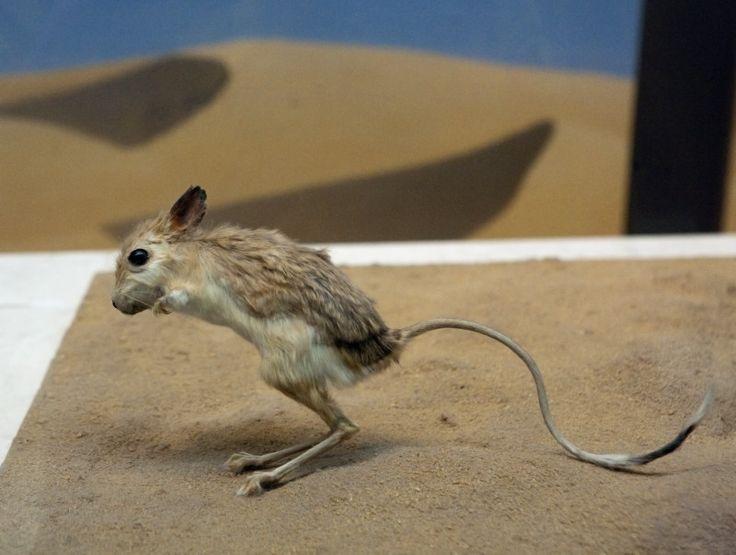 Kangaroo Rat jumping