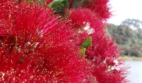 New Zealand Christmas Tree.... Pohutukawa at Tairua Beach