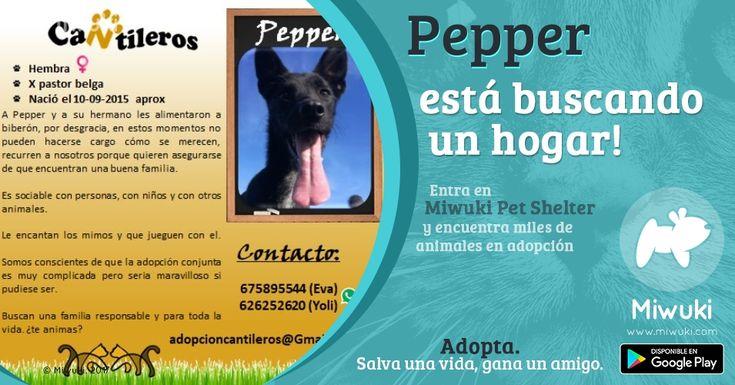 Adopta o apadrina a Pepper en Miwuki Pet Shelter  http://miwurl.com/5nxbe0 ℹ Pepper ( septiembre 2015 ) y su hermano han sido criados por una familia que ahora mismo no puede hacerse cargo de ellos por eso necesitan alguien que les cuide y les quiera. Es mezcla de pastor belga y es un perro sociable con personas y animales. Le encantan los mimos y que jueguen con él. Bien con niños. Sabemos que es complicada una adopción conjunta pero si pudiera sería maravilloso. Se entrega vacunado…