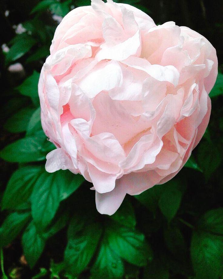 �������������������� ・ 祖母が大切に育てていた、 実家のお庭の芍薬。 ・ ようやく蕾がほころんできました�� ・ ・ 弟が産まれた年に植わってから27年。 毎年5月になるとお庭のあちこちに大輪の花を咲かせてくれます�� ・ ・ 今年はすこし咲くのが遅かったのは、 明日が弟の結婚式やからかな。。。 ・ 目に見えないちからってやっぱりあるんやろなー。 なんて、祖母に問いかけながら。 ・ ・ それにしても なんともやわらかそうなほころび! ・ ・ #花のある暮らし #お庭#芍薬#蕾#ほころび#新緑#目に見えない力#京都#花びら#弟の結婚式#結婚式前日#カメラ女子#東京カメラ部#ファインダー越しの私の世界#flowerslovers #flowerstagram #flowers #hello_worldpics #dream_image #lovers_nippon_artistic #bud#instalove #jp_views_flowershot #wedding#peony #gardening #kyotojapan…