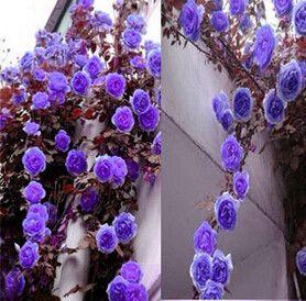 Rosa,Climbing Plants , Polyantha rose, Chinese Flower Seeds ,Climbing Roses Seeds , 200 pcs/bag