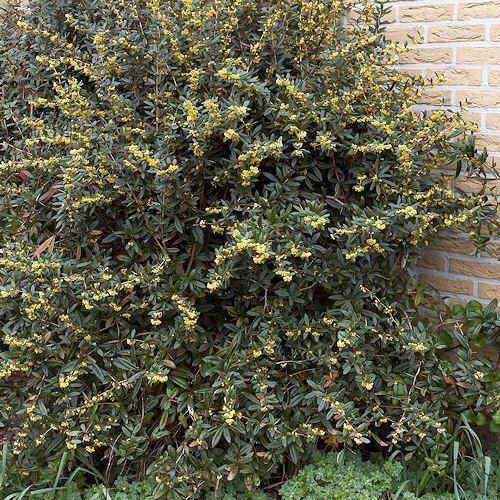 33 best d szbokrok cserj k images on pinterest plants for Plante whisky