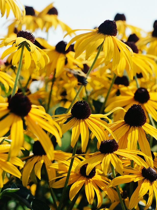 Black-eyed Susan. The sunny-yellow, easy disposition of this drought-tolerant perennial(Rudbeckia sp.) makes it a good choice for a dry, low-maintenance garden bed.