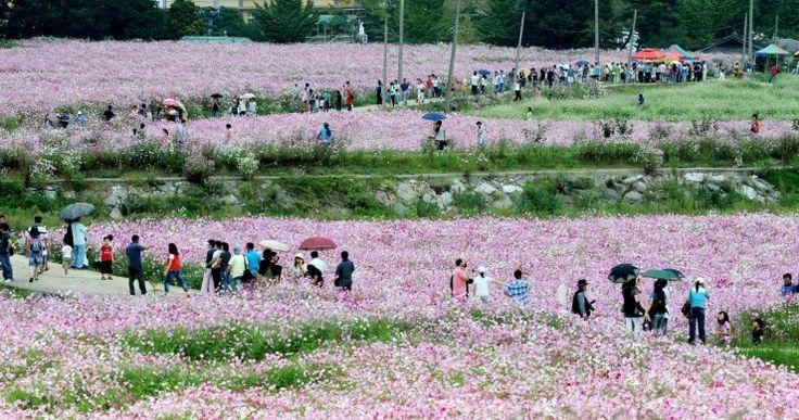 가을을 알리는 수줍은 핑크빛 향연, 하동 북천 코스모스·메밀꽃축제