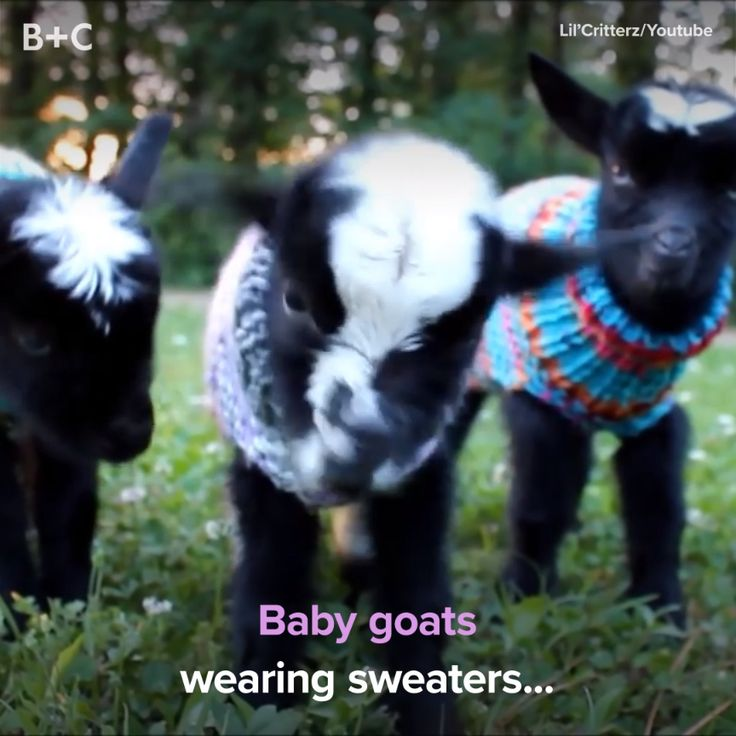 Goats have to keep warm too!Brit + Co