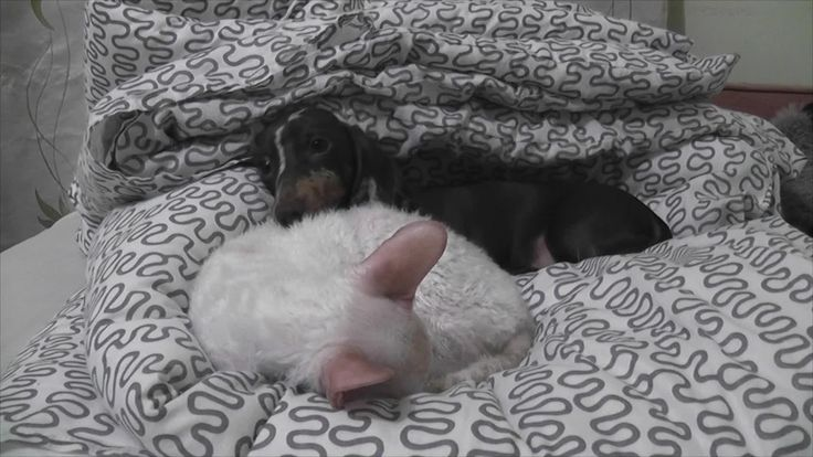 Looks like Mr. Pepper, an adorable Dachshund puppy, really wants Patrick the cat to wake up from his nap. It's time to play! Credit to 'AlwaysHungryCat'.