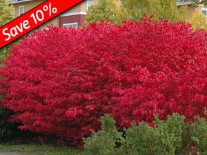 Burning Bush  Euonymus Compactus    Fast growing Hedge Plant. Brilliant, 10+ weeks of fire-engine red fall color. Drought tolerant & Disease Resistant. Thrives in full sun to part shade. Plant in groups of 6, 12, or 24 for best results. Plant 4-6 feet apart for a quick, full hedge screen. Our Jumbo 2-Quart pots for quicker results! Zone 4,5,6,7,8 Blooms Summer  5' x 5'  http://www.greatgardenplants.com/index.php?fa=PAGE.view=727