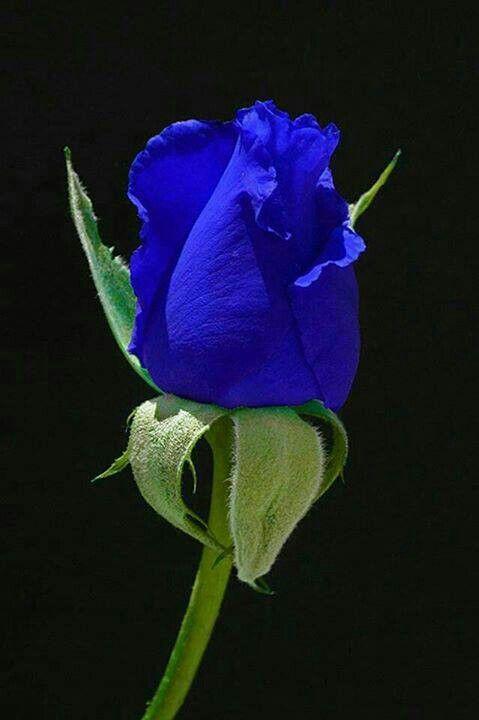 Blue rose for Jeffrey. Miss ya, Granny