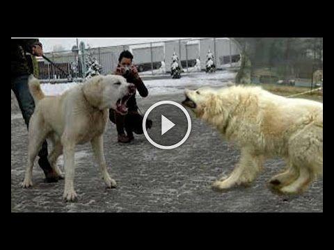 Kangal vs Pastor Caucásico Caucasian Shepherd Dog - YouTube