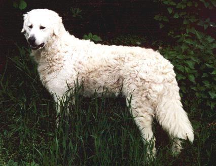 O Kuvasz é um cão  pastor que foi usado durante anos como guarda de rebanhos de ovelhas (curiosidade: ele se escondia entre as ovelhas e ...