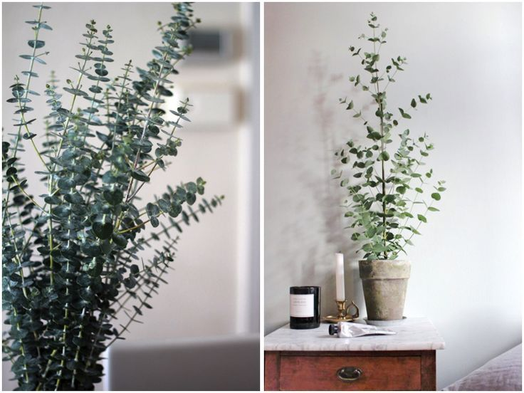 15x Eucalyptus Huis : Image result for eucalyptus plant houseplant insidedesign