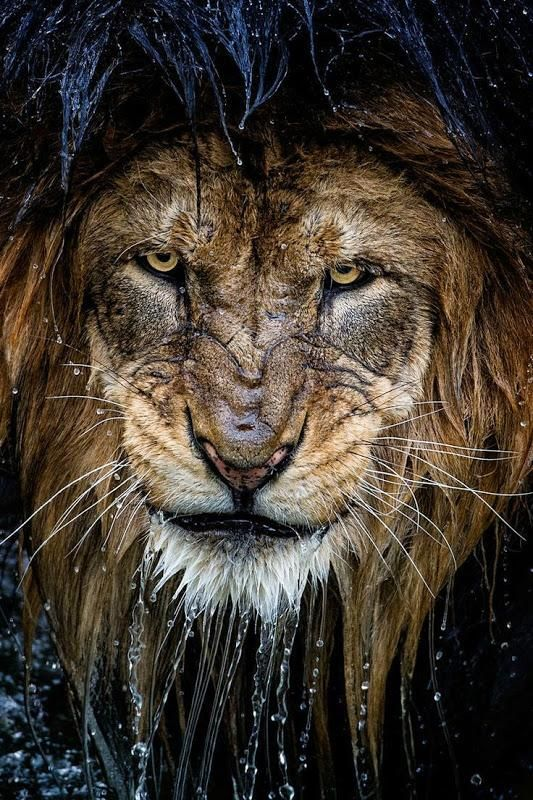 A stunning picture of a lion