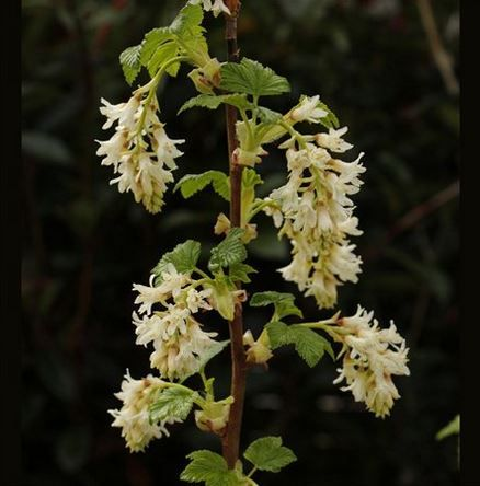 Ribes sanguineum 'Elkington's White' H& S1.5. Clusters of whote flowers in Spring followed by blue-black fruit. Slightly aromatic foliage.