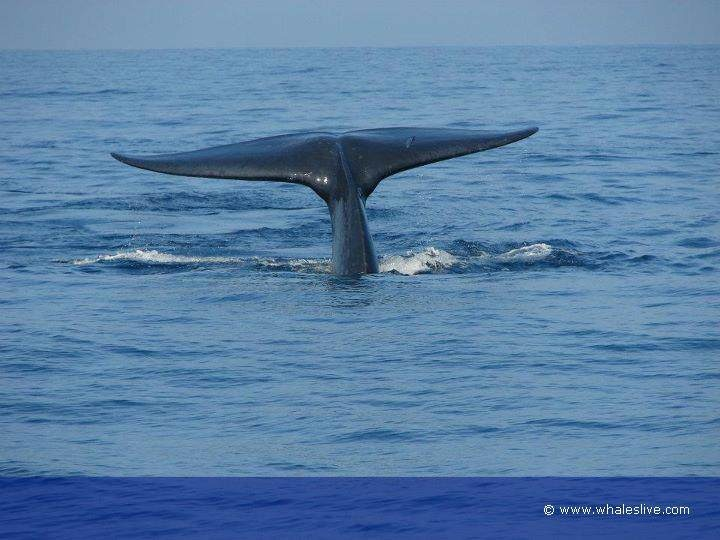 Come to Sri Lanka ..  Watch , Photography or Research about Blue whale species ..