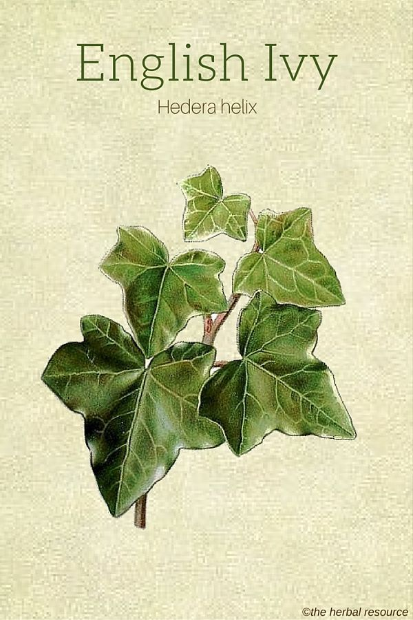 The Medicinal Herb English Ivy (Hedera helix)