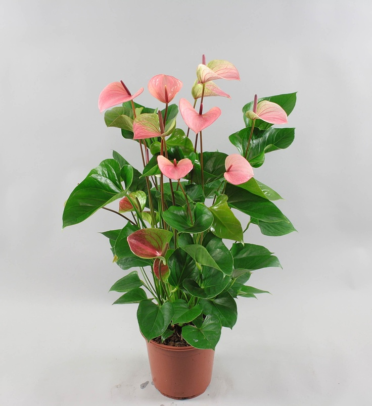 Anthurium andr summer love 21cm nursery florissant - Anthurium turenza ...