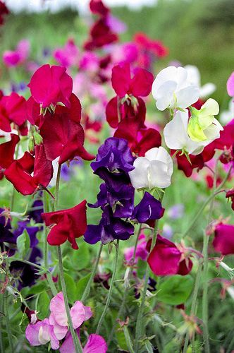Pretty pretty sweet peas - a rainbow of colour and the smell of summer. @White Stuff UK #makesmehappy