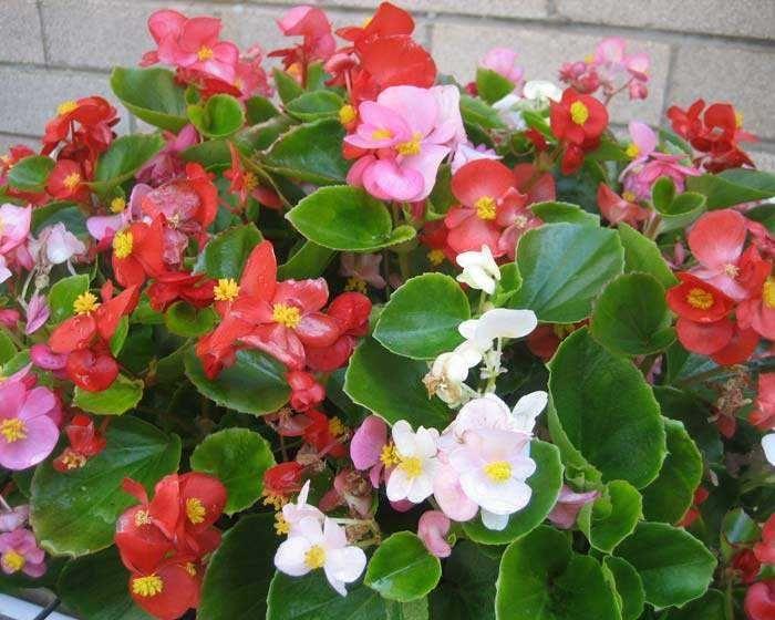 El amplio mundo de las Begonias El género 'Begonia' incluye más de 1.500 especies e innumerables híb