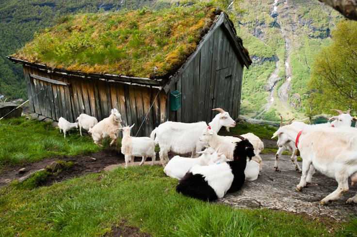 Goat's cottage near the cliffs above the town of Geiranger
