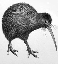 kiwi birds sketch simple | Kiwi Bird drawing