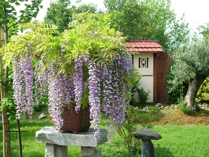 25 sch ne blauregen ideen auf pinterest blauregen pflanzen wisteria trellis und franz sische. Black Bedroom Furniture Sets. Home Design Ideas