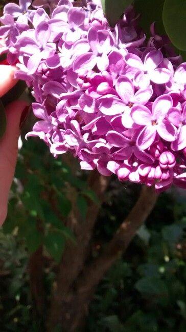 Flowers lila
