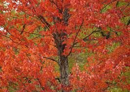 Image result for maple tree bark pictures