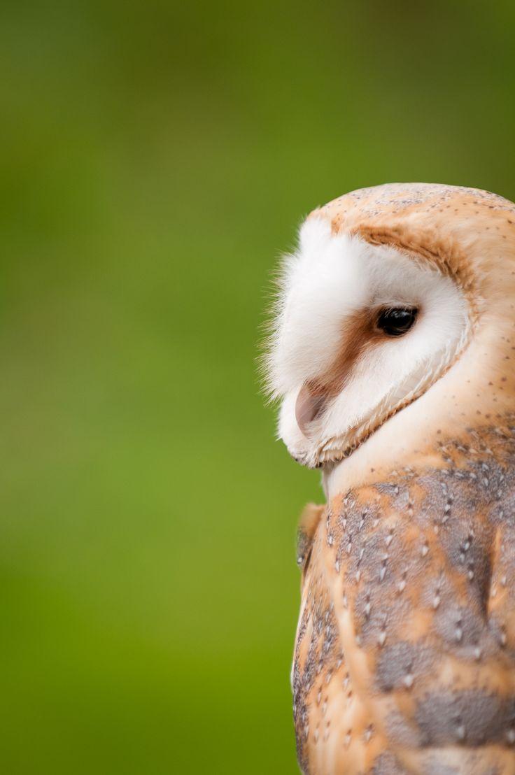 #BarnOwl. #woodland #wildlife #nature #ForestRetreat #UKgetaway