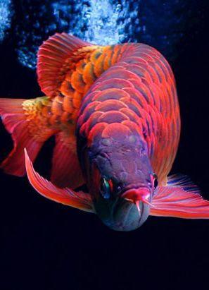 Rare Tropical Saltwater Fish Stunning Asian Arowana...