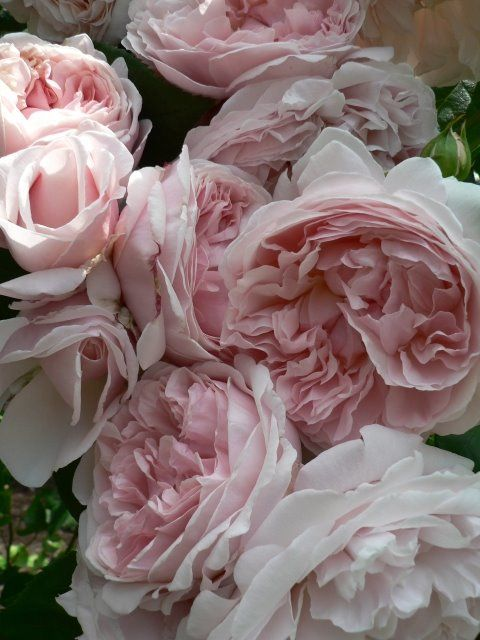 'St Swithun' David Austin rose   Oh these are beautiful!!!