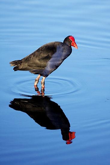 The Pukeko, or New Zealand Swamp Hen by Varinia