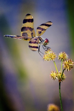 Prettiest Dragonfly