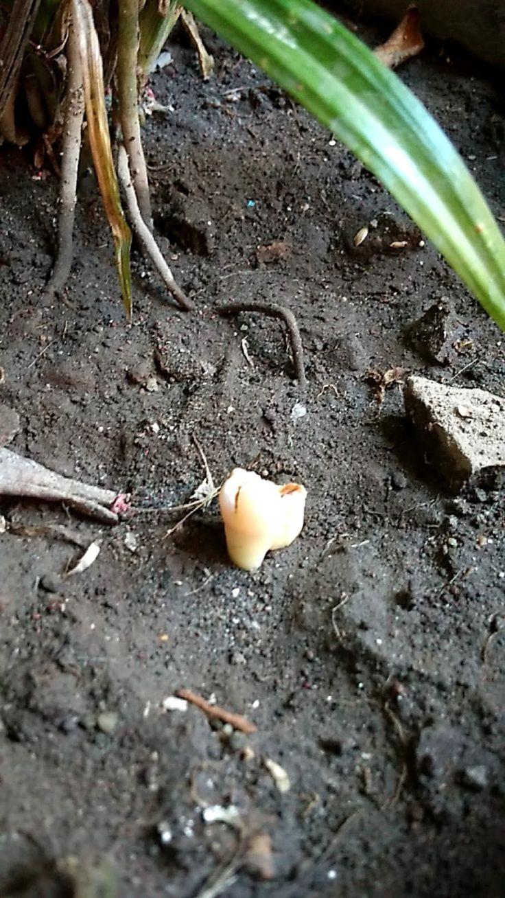 Gigi merupakan organ tubuh manusia yang memiliki peranan
