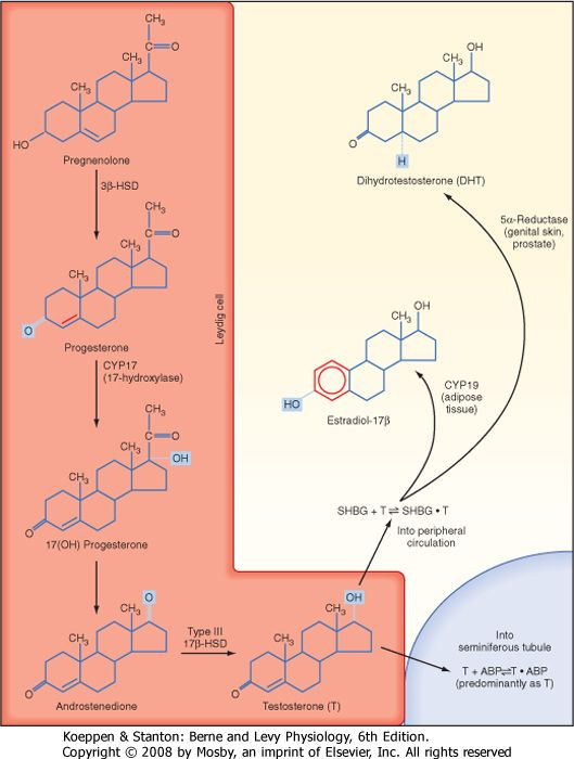 Testosterone Conversion to Estrogen. Studies involving men with aromatase deficiency have shown that inability to produce estrogen results in tall stature because of the lack of epiphyseal closure in long bones and osteoporosis. Thus, peripheral estrogen plays an important role in bone maturation and biology in men. Estrogen also appears to promote insulin sensitivity, improve lipoprotein profiles (i.e., increasing HDL, decrease triglycerides and LDL), exert negative feedback on pituitary…