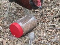 Chicken Toys - Why they are important and how you can provide them - BackYard Chickens Community
