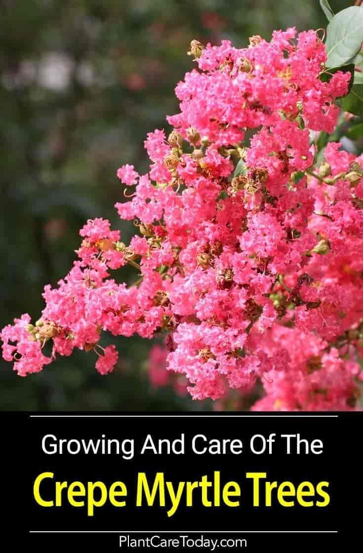 2 Pacific Wax Myrtle Myrica Californica Is An Evergreen Shrub Native To Southwest Washington Coast Makes A Native Plant Gardening Shade Plants Shade Garden