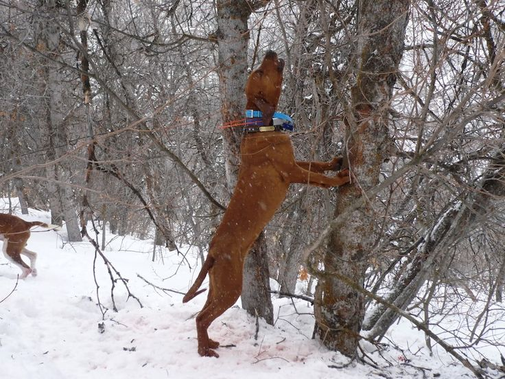 redbone coonhound dog photo | Redbone Coonhound - Information, pictures and videos | DBS