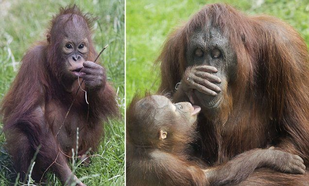 Baby orangutan cared for by her adoptive mother in British zoo
