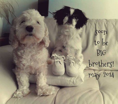 Pregnancy Announcement Pictures With Dogs