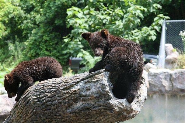 New cubs at Ober Gatlinburg