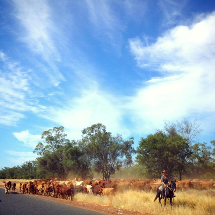 Cattle droving near Cunnamulla, Australia