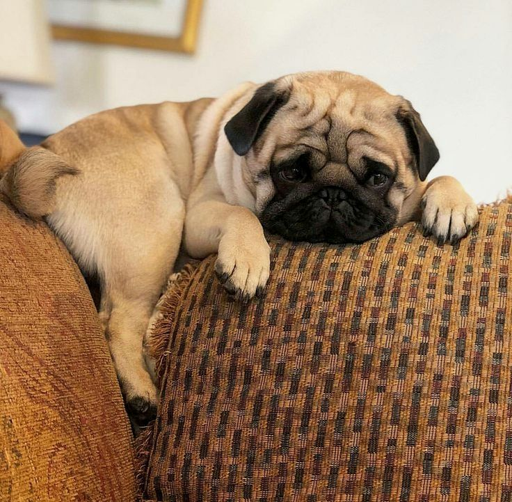 Pinterest Prettyyboyy Cute Pug Puppies Cute Pugs Pugs Funny