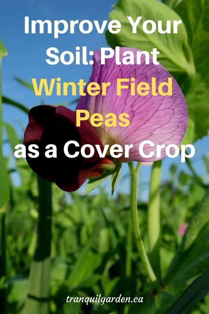 Plant A Cover Crop Such As Winter Field Peas To Improve Soil In Winter In Your Garden Your Vegetables Wil Soil Improvement Garden Soil Preparation Garden Soil