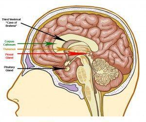 Таламус, гипофиз, гипоталамус, шишковидная железа и третий желудочек головного мозга
