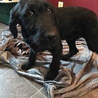 antwerp, Ohio - Labradoodle. Meet Arthur !!, a for adoption. https://www.adoptapet.com/pet/19994801-antwerp-ohio-labradoodle-mix