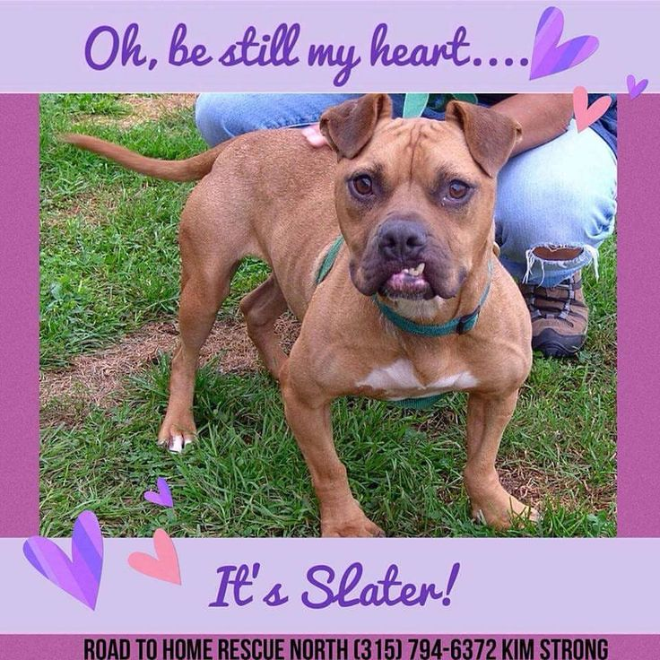 2/17/18 Will you share our heartthrob Slater?  Hi! My name is Slater! I'm a 4 to 5 year old pit bull mix looking for a family of my own. I came form such a rough life but that is all behind me now! I would do best as an only dog and no felines. I sure do love people, especially kids!! I am medium energy, so it's great to play, but I love to relax as well. . . pretty cool right? I ride well in the car, enjoy my treats, and can't help but wiggle my entire body in excitement whenever anyone is…