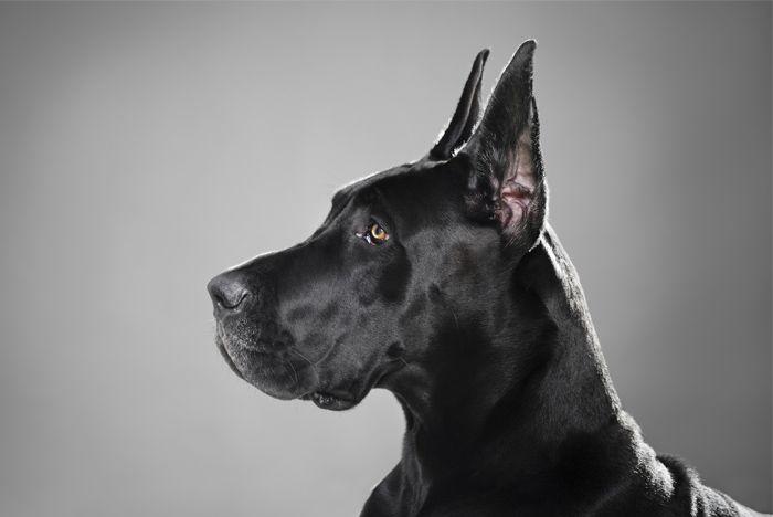 Tal vez el mejor nombrado de todos los perros en el mundo, grandes daneses tienen el tamaño necesario para intimidar a los extraños y otros perros, pero a menudo se conocen como gigantes suave si su dueño adecuadamente les ha entrenado para ser capaz de interactuar con las personas y …