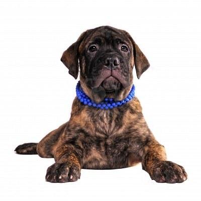 Bull Mastiff Puppy...I WANT one :) !!!!!