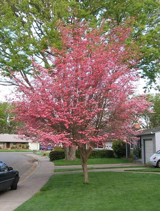 30 best images about cornus florida rubra on pinterest trees pink flowers and dogwood trees. Black Bedroom Furniture Sets. Home Design Ideas